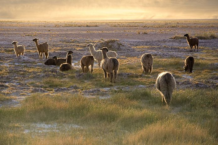 Picture of llamas at sunset.